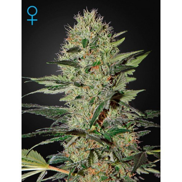 Auto Exodus Cheese feminised, Green House Seeds