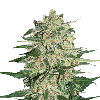 BIG BUD FEMINIZED, Seedstockers