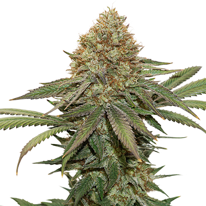 FRUIT CAKE FEMINIZED, Seedstockers