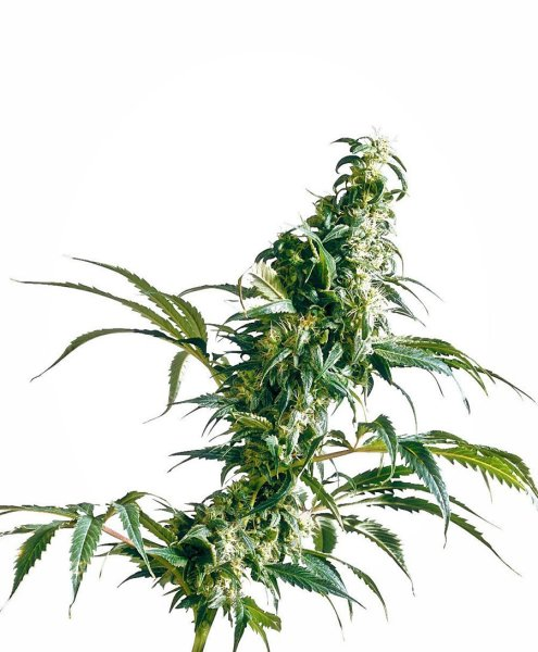 Mexican Sativa Feminized Seeds, Sensi Seeds
