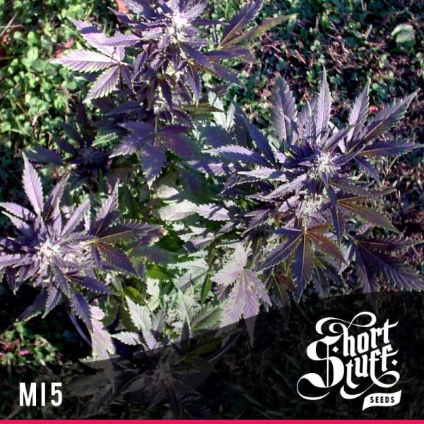 Mi5 Auto feminized, Short Stuff Seedbank