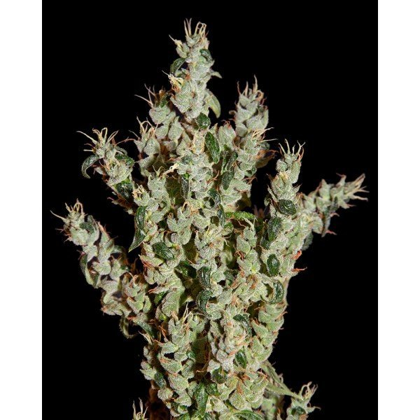 NL5 Haze Mist Feminised, Green House Seeds