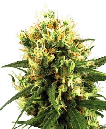 White Haze Automatic feminized, Sensi White Label