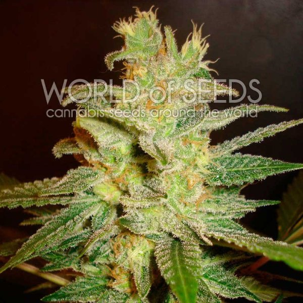 Northern Light x Big Bud feminized, World of Seeds