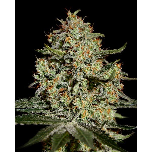 Big Bang Feminised, Green House Seeds