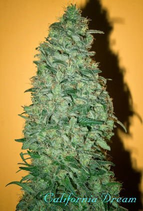 California Dream feminized, Mandala Seeds