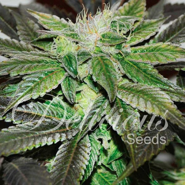 Sugar Candy feminized, Delicious Seeds