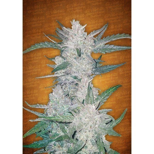 Auto Mexican Airlines feminized, Fast Buds