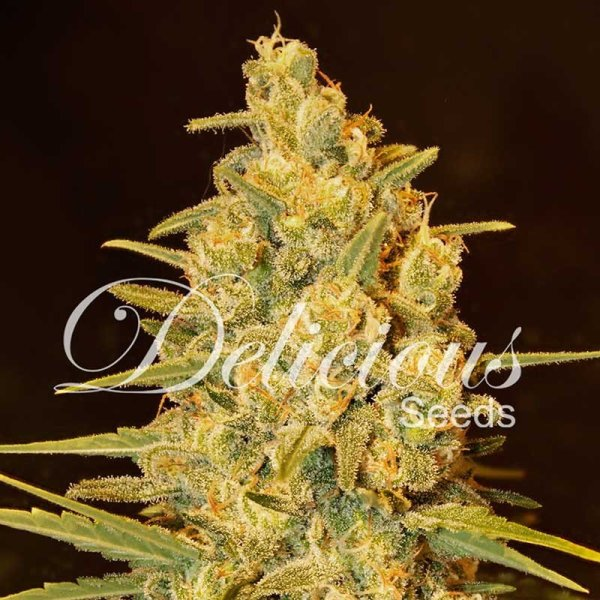 Critical Sensi Star feminized, Delicious Seeds