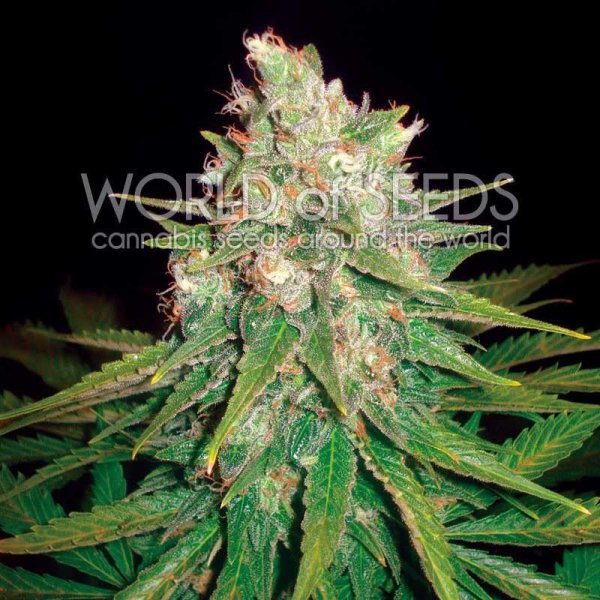 Mazar x Great White Shark feminized, World of Seeds