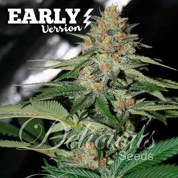 Delicious Candy Early Version feminized, Delicious Seeds