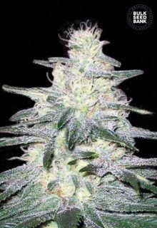 Locomotive feminized, Bulk Seed Bank