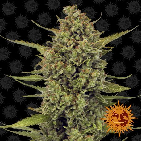 Acapulco Gold Feminised, Barney's Farm