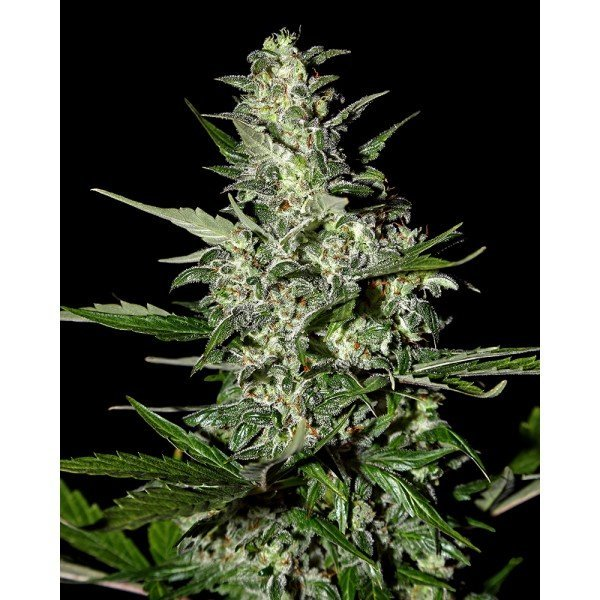Auto Super Critical Feminised, Green House Seeds