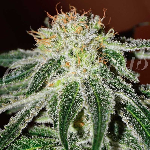Black Russian feminized, Delicious Seeds