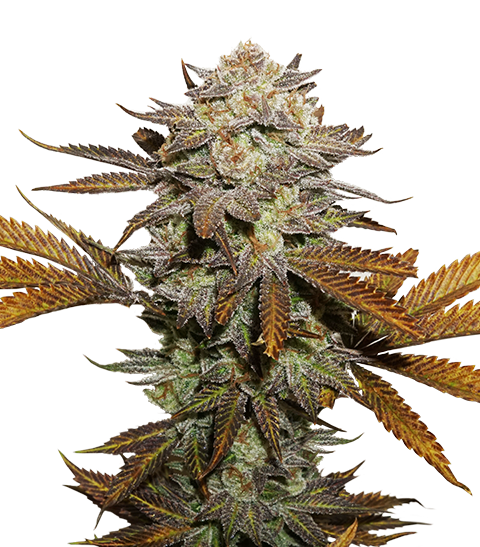 STICKY FINGERS FEMINIZED, Seedstockers