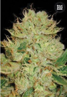 Auto Bigger Bud feminized, Bulk Seed Bank