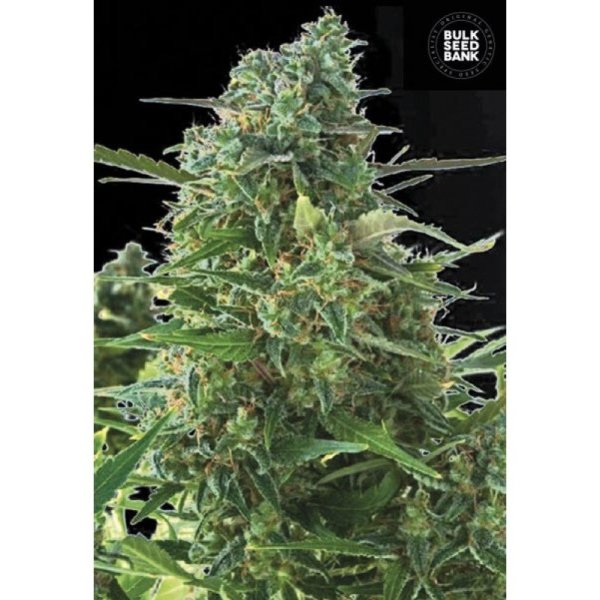 Auto NBA Diesel feminized, Bulk Seed Bank