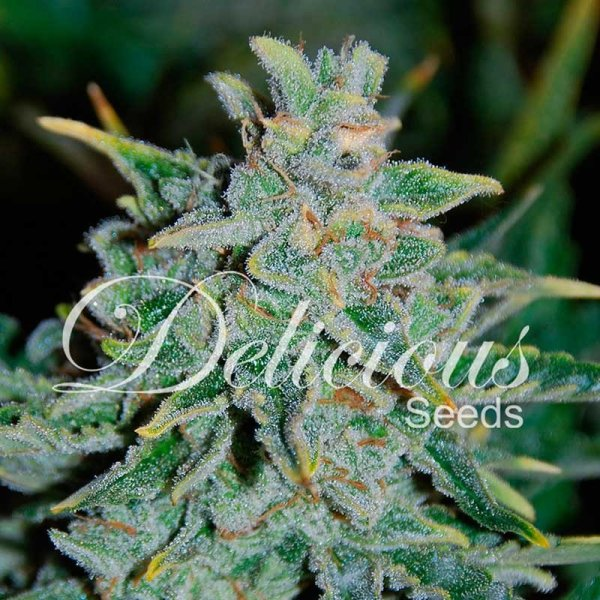Auto Nortern Light Blue feminized, Delicious Seeds