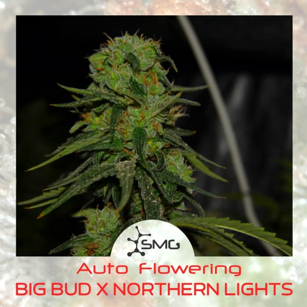 Auto NORTHERN LIGHTS X BIG BUD feminized, SMGenetics