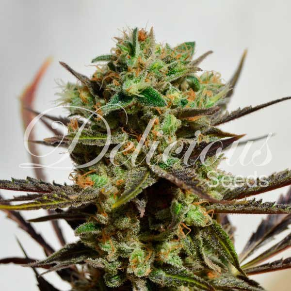 Delicious Candy feminized, Delicious Seeds