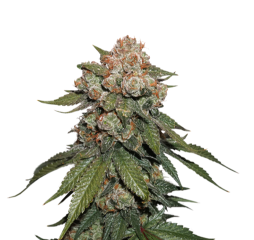 MAPLE SHERBET FEMINIZED, Seedstockers