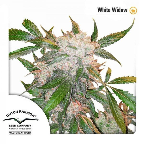White Widow feminised, Dutch Passion