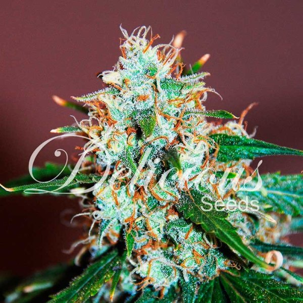 Critical Neville Haze feminized, Delicious Seeds