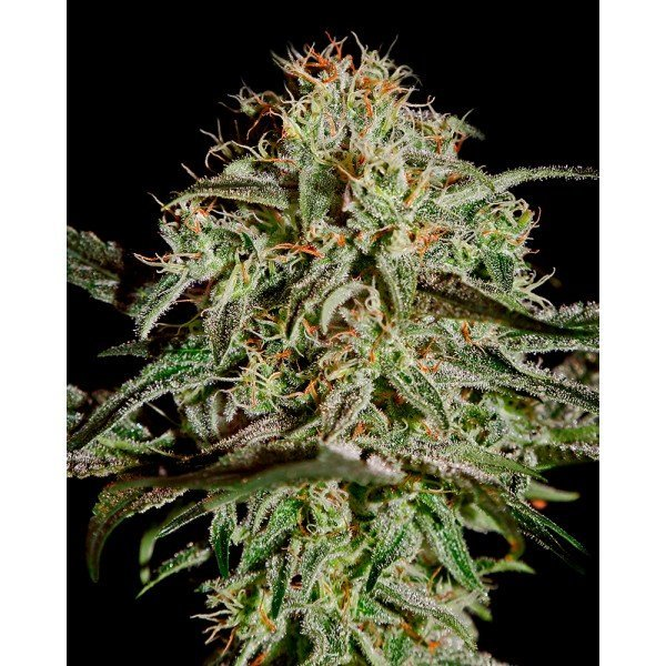 AMS Feminised, Green House Seeds