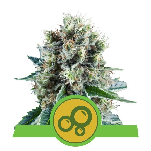 Auto Bubble Kush feminized, Royal Queen Seeds