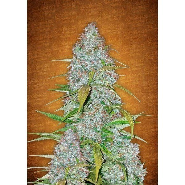 Auto Californian Snow feminized, Fast Buds