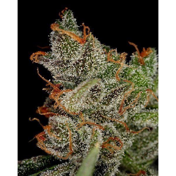 King's Kush Feminised, Green House Seeds