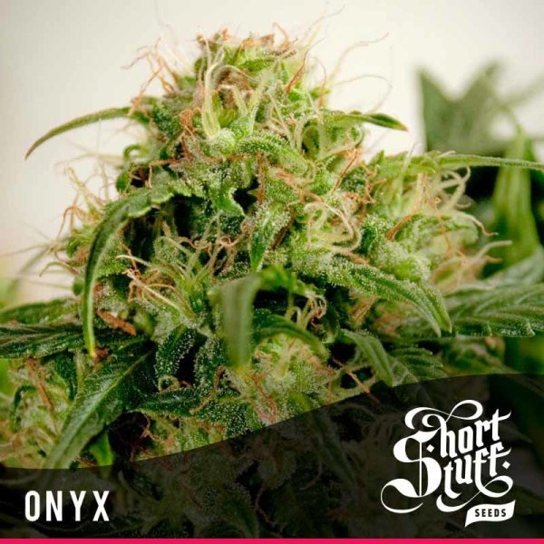Onyx Auto feminized, Short Stuff Seedbank