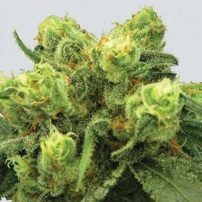 Pre-99 Big Bud feminized, Nirvana Seeds