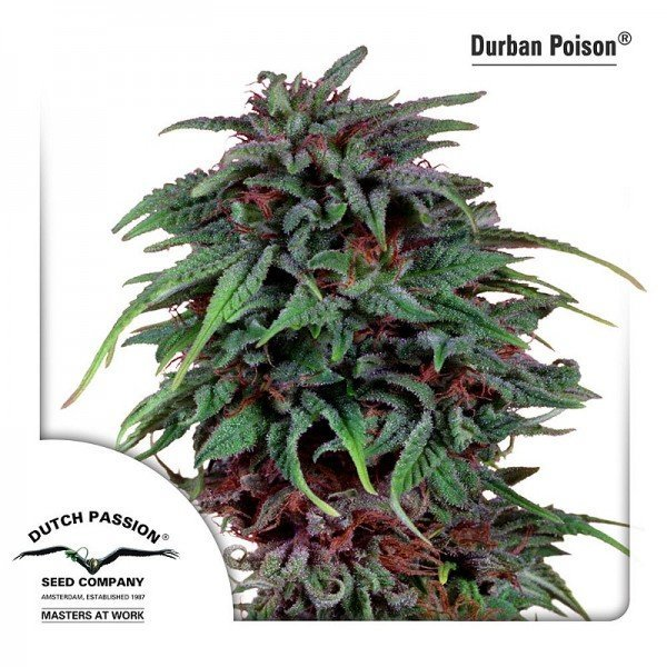 Durban Poison, Dutch Passion
