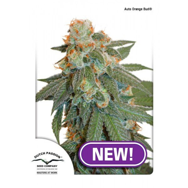 Auto Orange Bud feminised, Dutch Passion