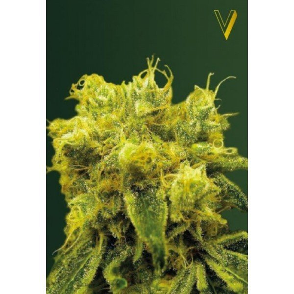 Blow Dream feminized, Victory Seeds