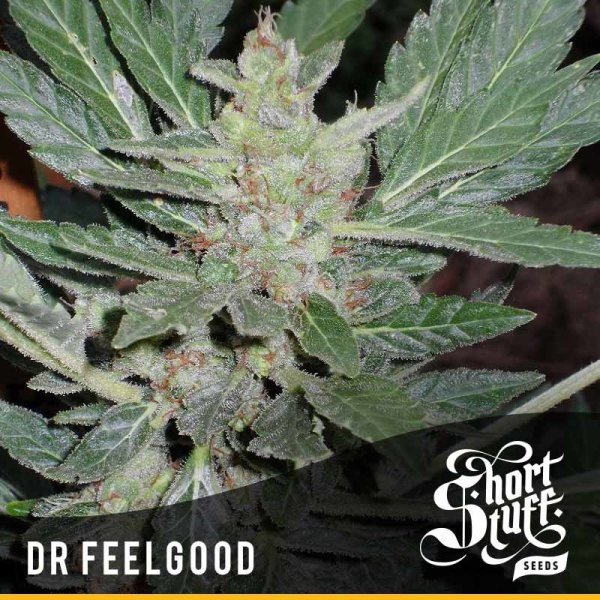 Dr. Feelgood Auto feminized, Short Stuff Seedbank