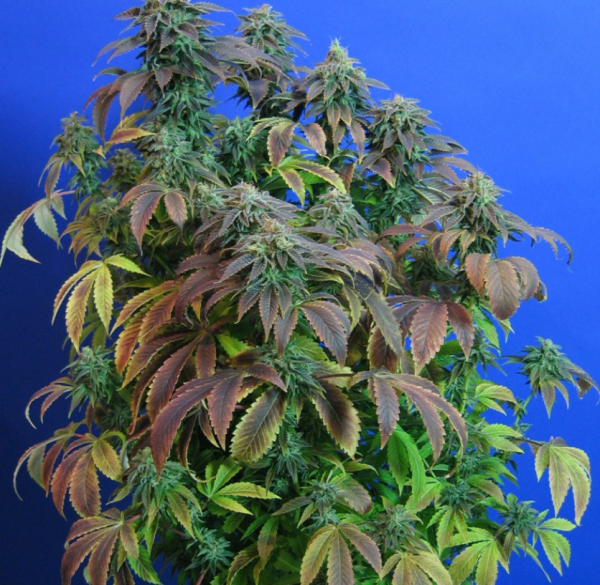 Heavy Duty Fruity, T.H.Seeds