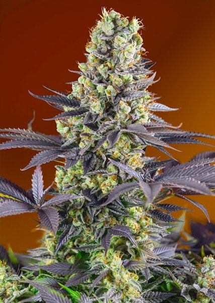 Sweet Zenzation SWS84 feminized, Sweet Seeds