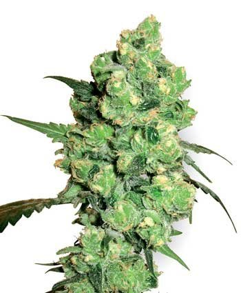 Super Skunk feminized, Sensi White Label