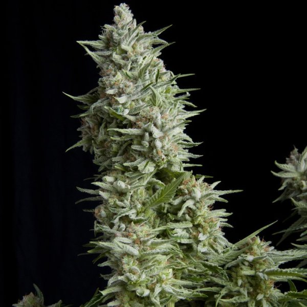 Alpujarrena feminized, Pyramid Seeds
