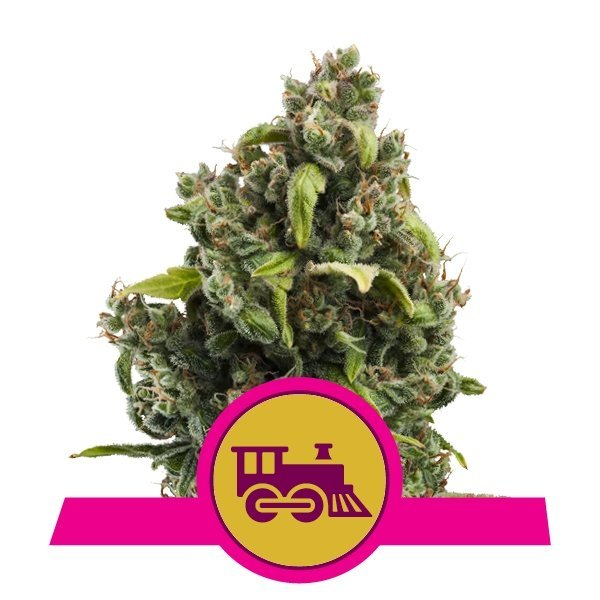 Candy Kush Express Fast feminized, Royal Queen Seeds