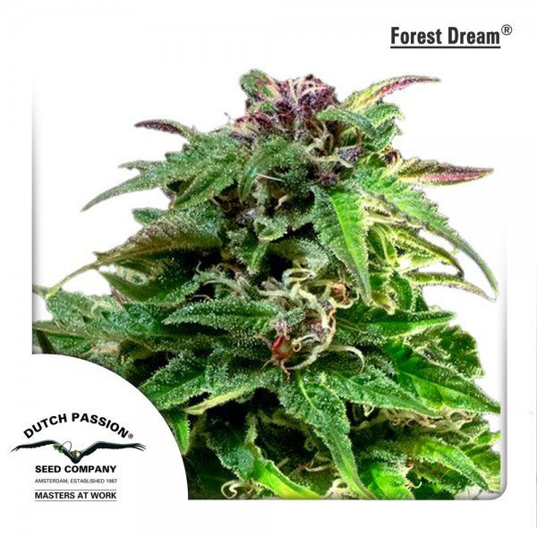 Forest Dream feminised, Dutch Passion