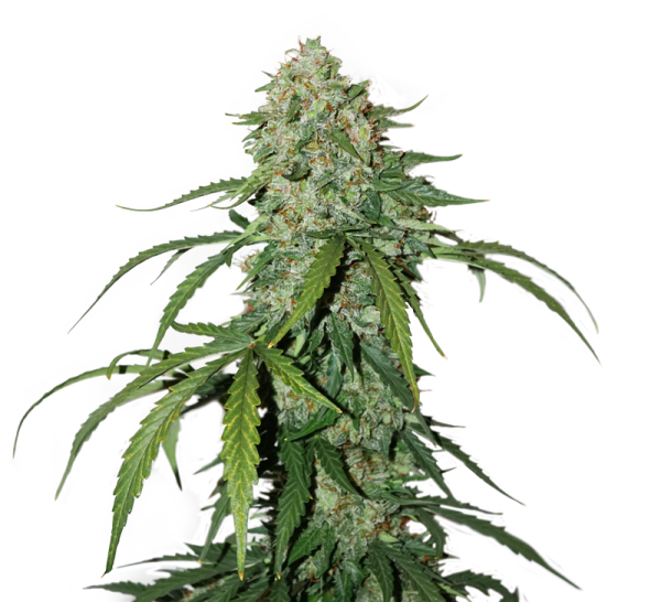 CBD 1:1 SILVER LIME HAZE FEMINIZED, Seedstockers