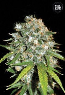 Skunk №99 feminized, Bulk Seed Bank