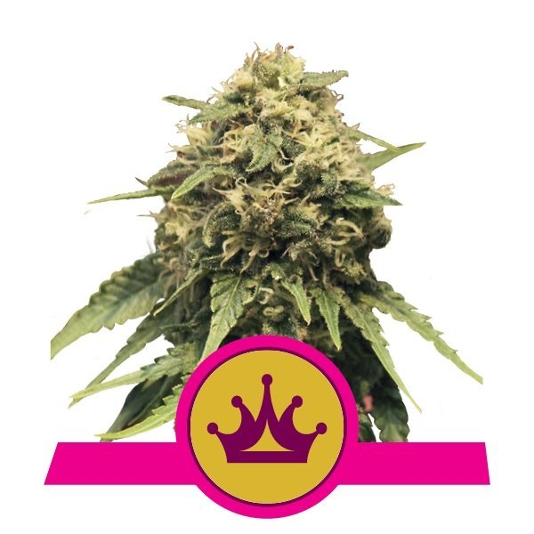 Special Queen 1 feminized, Royal Queen Seeds
