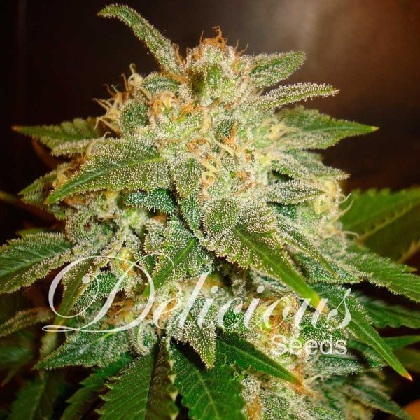 Auto La Bella Afrodita feminized, Delicious Seeds