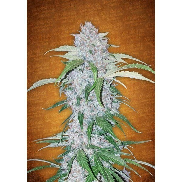 Auto Six Shooter feminized, Fast Buds