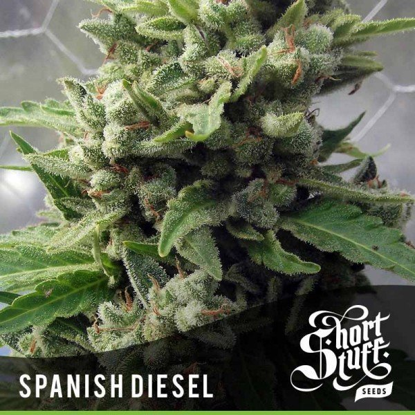 Auto Spanish Diesel feminized, Short Stuff Seedbank